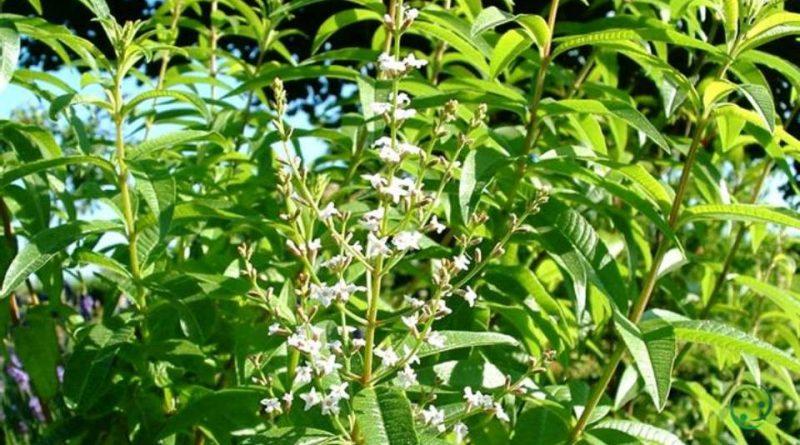 Come si propaga la Verbena odorosa